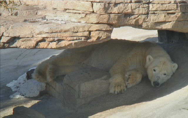 Polar bears  photo 5