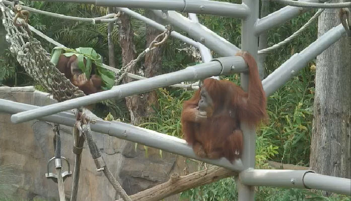 San Diego Zoo Ape photo 4