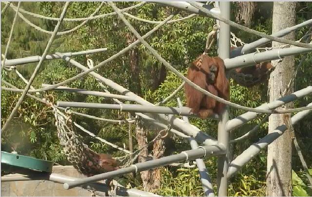 San Diego Zoo Ape photo 3