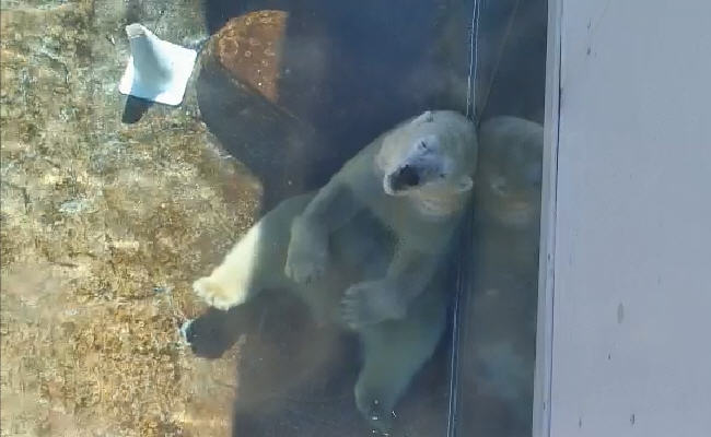 Polar bears  photo 4