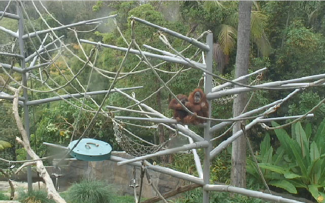 San Diego Zoo Ape photo 1