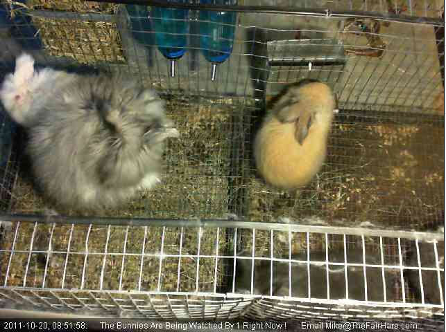 The Fair Hare English Angora Bunny  photo 2