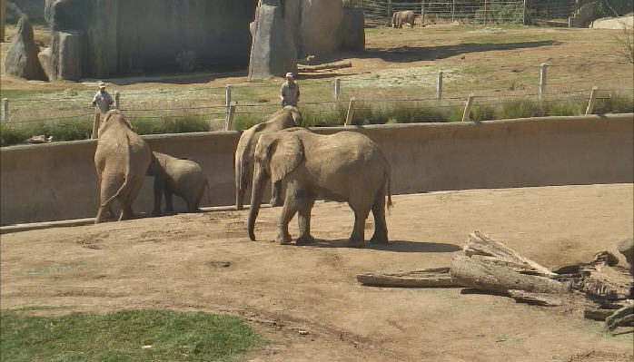 African elephants photo 5