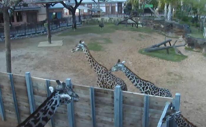 Giraffe Platform photo 1