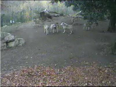 Wolves at Dublin Zoo photo 1