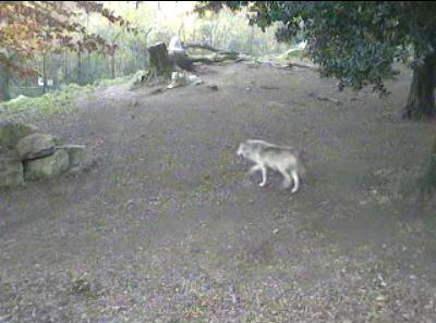 Wolves at Dublin Zoo photo 4
