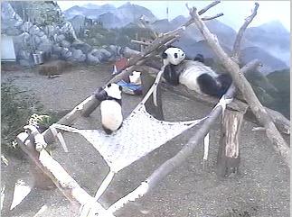 Panda Bear photo 6