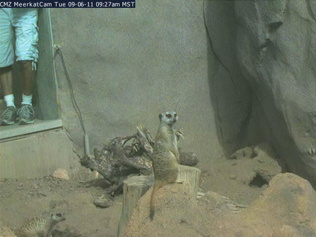 Meerkat photo 1
