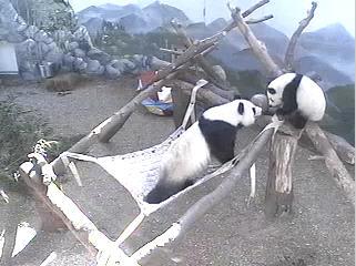 Panda Bear photo 5