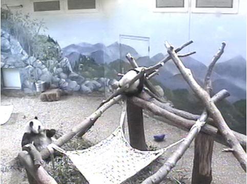 Panda Bear photo 4