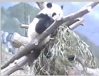 Panda Bear photo 1
