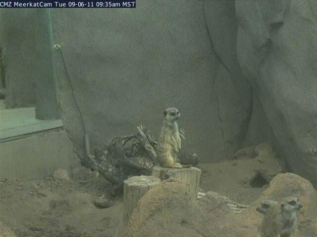 Meerkat photo 3