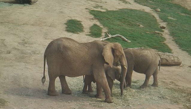 African elephants photo 3