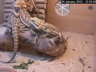 Baby Bearded Dragon photo 3
