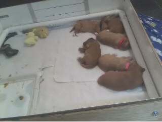 Lvy's and Splash's puppies photo 1