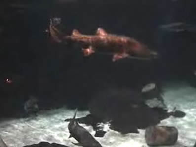 Sand Tiger Sharks photo 2