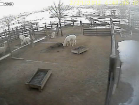 Alpaca webcam photo 5