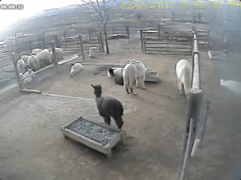 Alpaca webcam photo 4