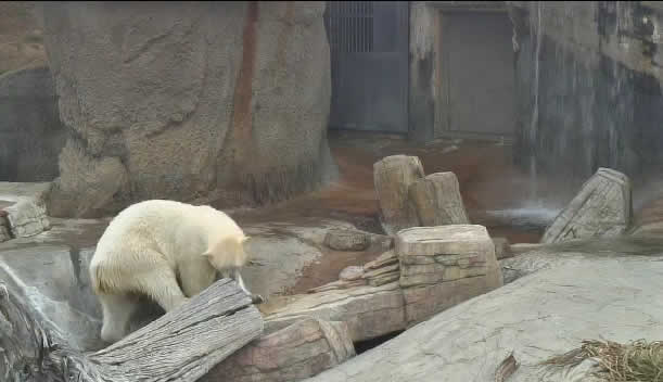 Polar Bears - San Diego Zoo photo 1