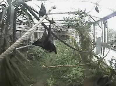 Livingstone's fruit Bats photo 3