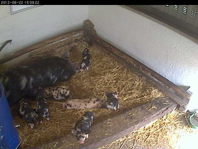 Piglets Farm photo 1