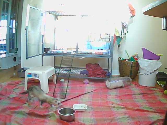 Ferrets photo 1