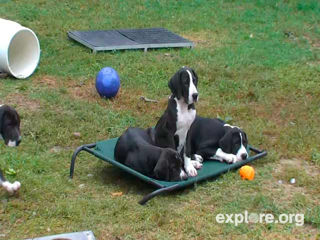 Great Dane Puppies photo 1