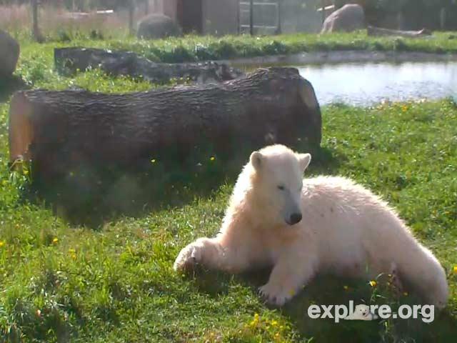 Polar Bear photo 1