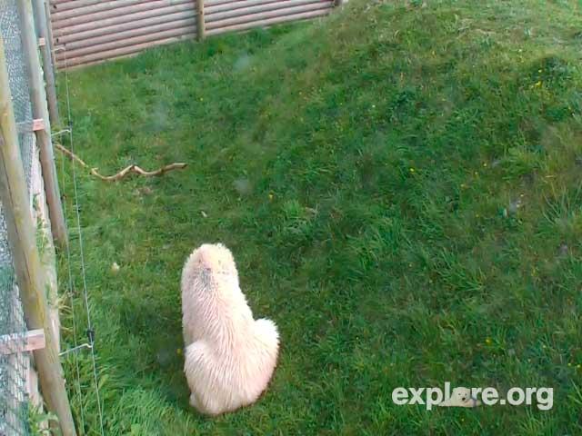 Polar Bear photo 2